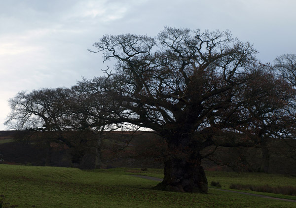 Tottergill Oak